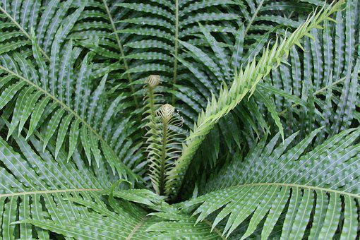 Fern, Green, Frond, Nature, Leaf, Plant, Natural