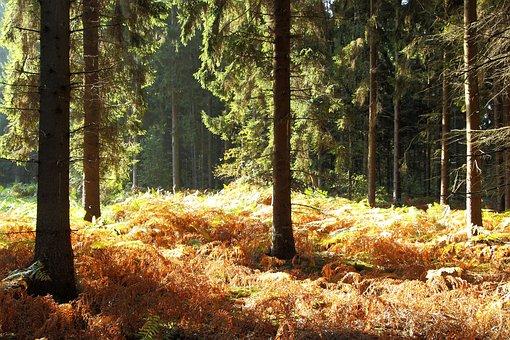Forest, Autumn Forest, Fern, Autumn, Trees, Landscape