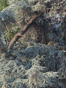 Conifer, Cedar, Needles, Road, Pine Bough