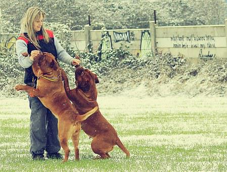 Snow, Dog, Bordeaux, Dogue, White, Mastiff, Winter