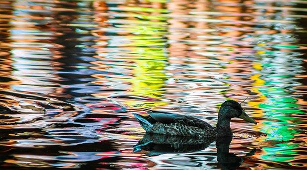 Duck, Mallard Duck, Bird, Madárféle, Birds, Female
