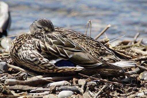 Female, Sleep, Duck, Mallard, Duck Bird, Water Bird