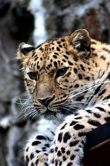 Leopard, Animal, Cat, Cheetah, Amur, Zoo, Wild
