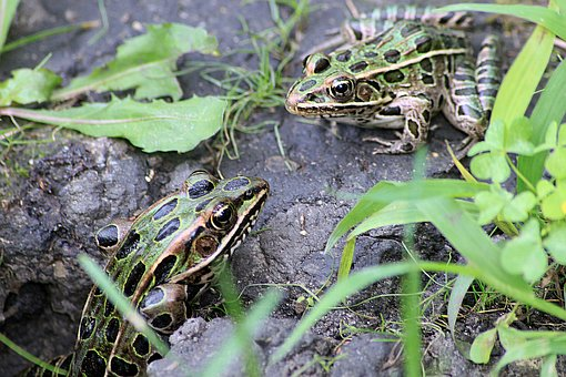 Frog, Toad, Frogs, Toads, Amphibian, Nature, Colorful
