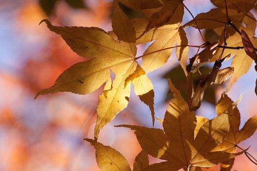 Maple, Autumn, Leaf, Yellow, Orange, Leaves, Coloring