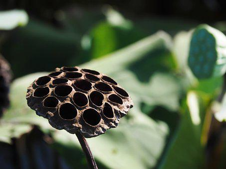 Lotus Canopy, Lotus, Black, Dry, Hole