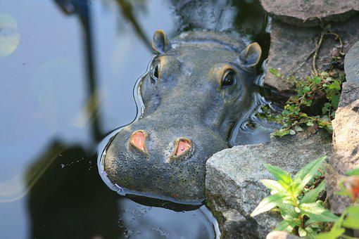 Hippo, Pond, Hippopotamus, Mammal, Water, Watering Hole