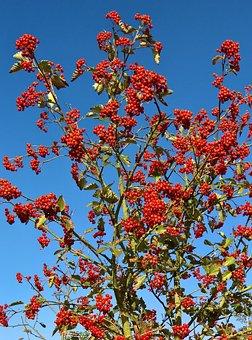 Nature, Plant, Rowan, Mountain Ash, Tree Or Bush