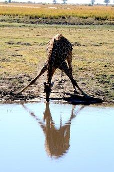 Giraffe, Africa, Safari, Botswana, Chobe, Wild, Travel