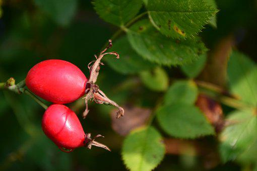 Rose Hip, Ripe, Forest, Berry, Fruit, Plant, Food