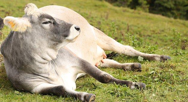 Cow, Pasture, Lazing Around, Lazy, Lying, Leather Skin