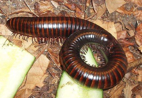 Millipedes, Myriapoda, Centipedes, Arthropod