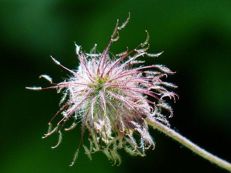 Avens, Pointed Flower, Blossom, Bloom, Red, Violet