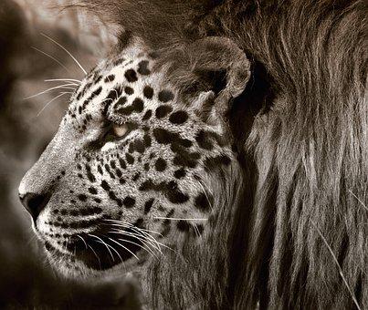 Lion, Leopard, Jaguar, Cat, Head, Face, Animal, Fantasy