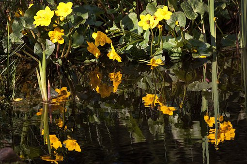 Caltha Palustris, Flowering Plant, Hahnenfußgewächs