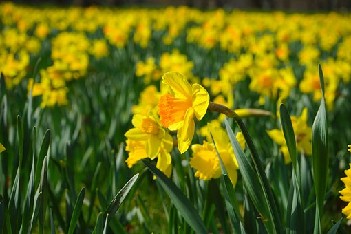 Narcissus Pseudonarcissus, Daffodil, Flower, Blossom
