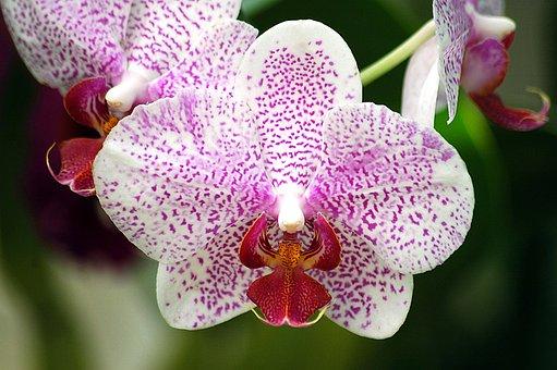 Orchid, Flower, Floral, Beauty, Botanical, Petal
