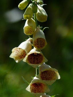 Yellow Foxglove, Flower, Flowers, Yellow, Brown
