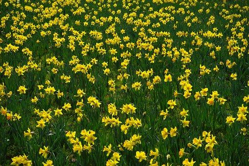 Narcissus Pseudonarcissus, Daffodil, Flower