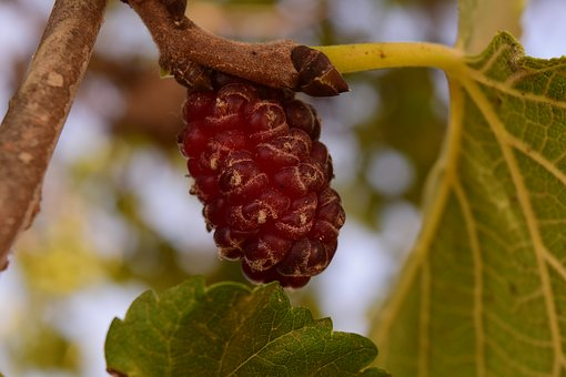Mulberry Tree, Mulberry, Food, Moraceae, Fruit, Morus