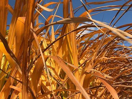 Reed, Garden, Autumn, Dry, Grass