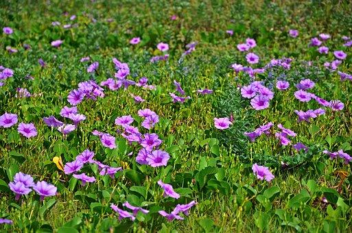 Flower, Ipomoea, Nature, Green, Bloom, Natural, Morning