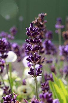Lavender Flower, Violet, Aromatherapy, Nature, Plant