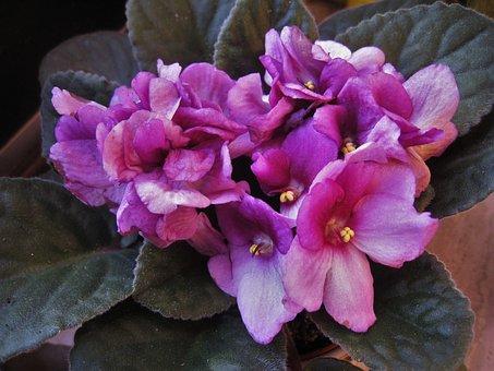 African Violets, Saintpaulia, Purple, Flowering Plant