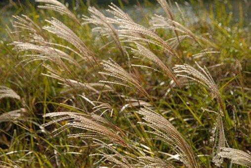 Songdo Incheon Korea, Reed, Songdo Central Park, Park