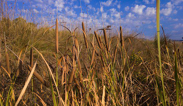 Reeds, Cigar, Water Plants