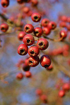 Hawthorn, Fruits, Red, Berries, Autumn, Branch, Bush