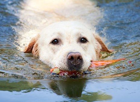 Dog, Labrador, Swim, Water, Summer, White, Purebred Dog