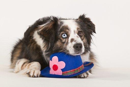 Dog, Purebred Dog, British Sheepdog, Lying, Hat, Funny