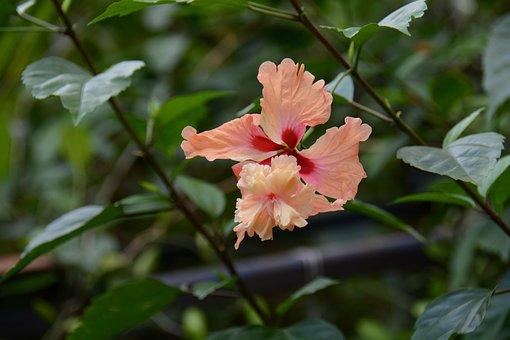 Chaba, Yellow, Flowers, Thailand, Hibiscus