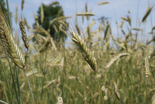Field, Rye, Nature, Summer, Corn, Farmer