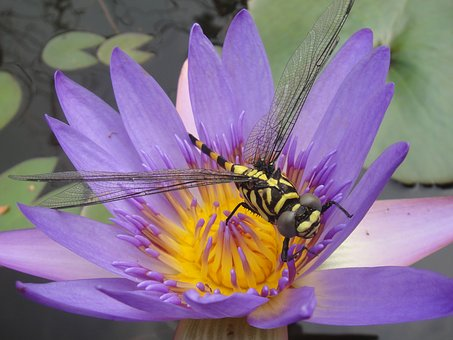 Water Lily, Bug, Dragonfly, Purple, Insects, Close Up