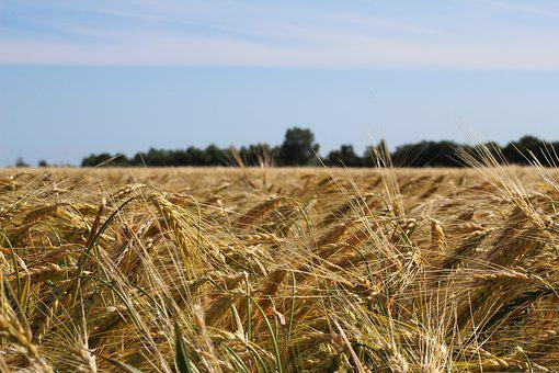 Field, Spike, Cereals, Agriculture, Cornfield