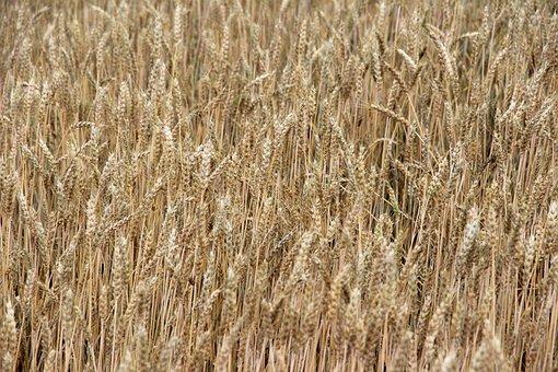 Wheat Field, Wheat, Cereals, Spike, Cornfield, Field