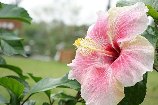 Hibiscus, Natural, Pink, Powder, White, Flower, Garden