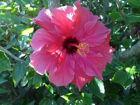 Flower, Hibiscus, Tropical, Nature, Petals, Garden