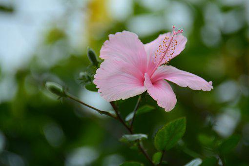 Chaba, Pink, Flowers, Thailand, Hibiscus