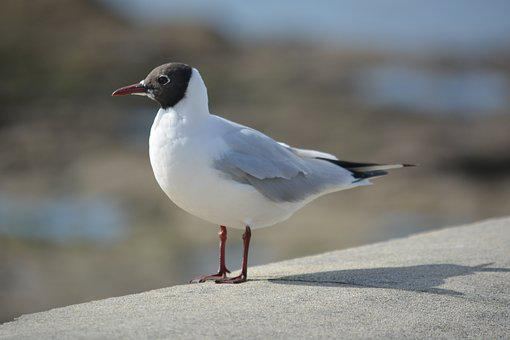 Seagull, Tern, Animals, Wild, Bird, Animal, Ornithology