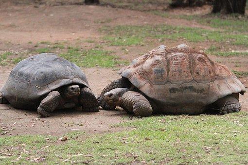 Tortoise, Giant, Animal, Zoo