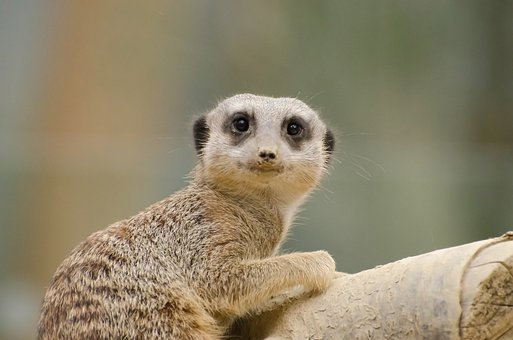Africa, African, Alert, Animal, Creature, Cute, Desert