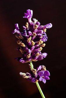 Lavender, Flower, Purple, Nature, Flowers, Provence