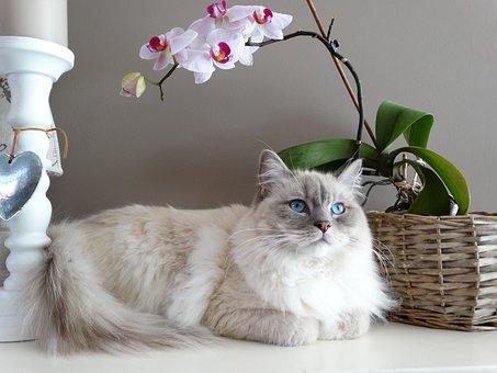 Cat, Remote Access, Ragdoll, Pet, Blue