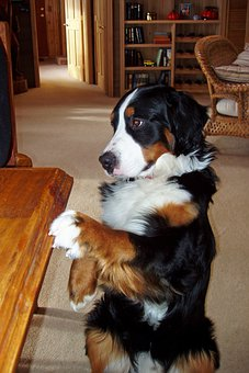 Bernese Mountain Dog, Pet, Canine, Three Colored