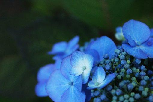 Hydrangea, Flower, Garden, Nature, Blue, Blossom, Bloom