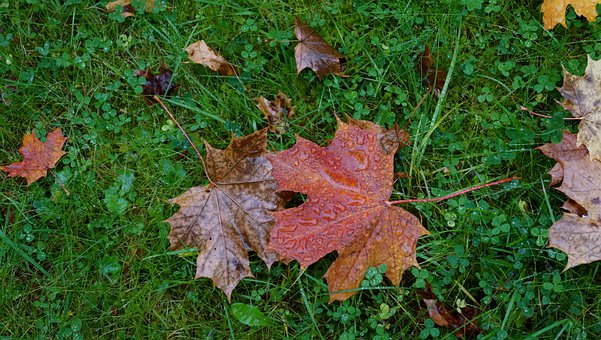 Autumn, Fallen Leaves, Maple Leaf, Dropped