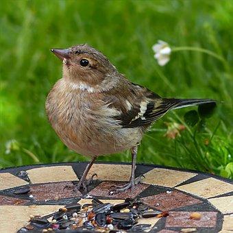 Chaffinch, Fringilla Coelebs, Bird, Gardening Young